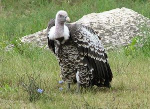 A vulture, waiting expectantly.