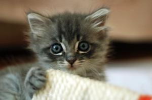 A cute grey kitten