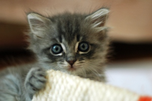 A cute grey kitten